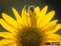 Bumblebee on ashy sunflower, Pawhuska Prairie, Lamar, Missouri