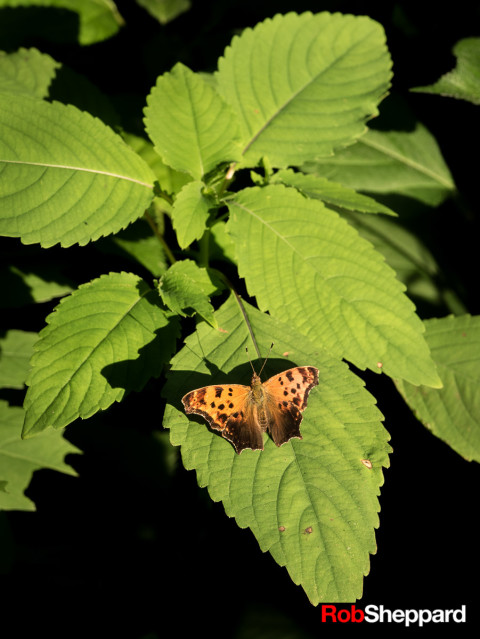 Question mark butterfly, Minnesota River Valley National Wildlife Refuge, Carver Rapids, Minnesota